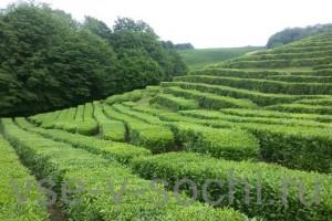 Экскурсия на чайные плантации и святой целебный источник