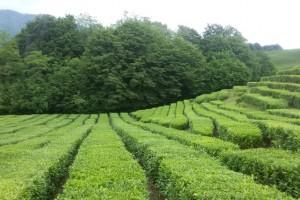 Змейковские водопады и чайные плантации Мацесты